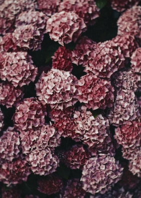 The prettiest of hydrangeas.