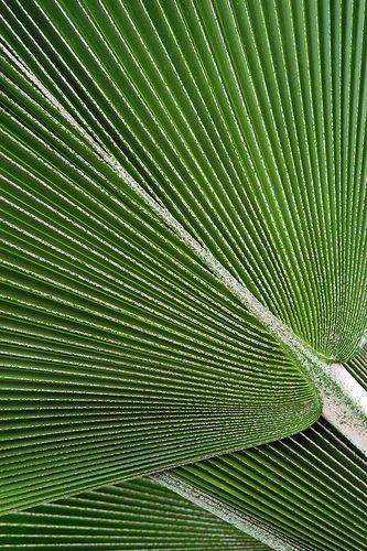Fiji fan palm, Janet Little on Flickr