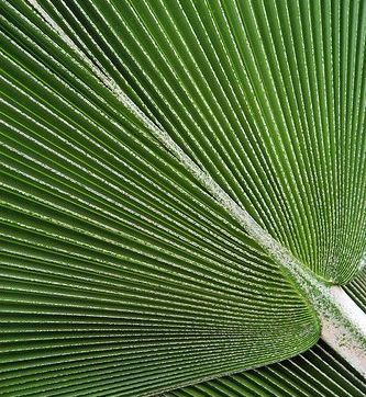 Fiji fan palm, Janet Little on Flickr