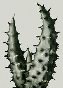 Peter Lippmann photographer, Cactus 1